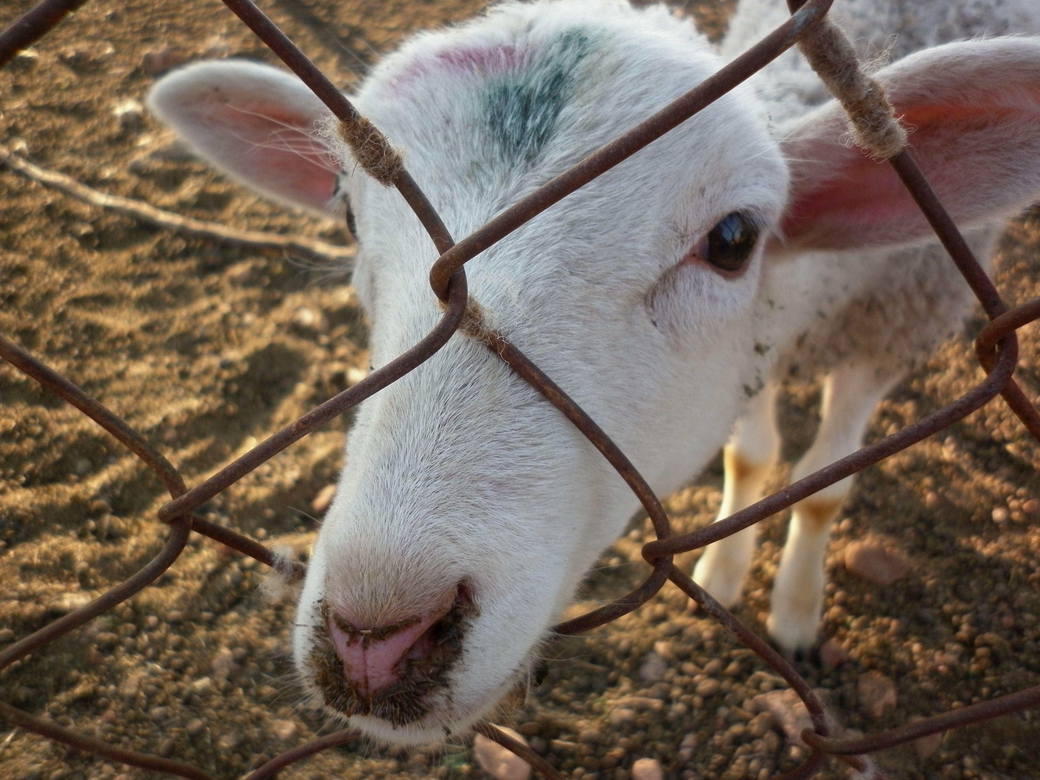santa_marina_goat