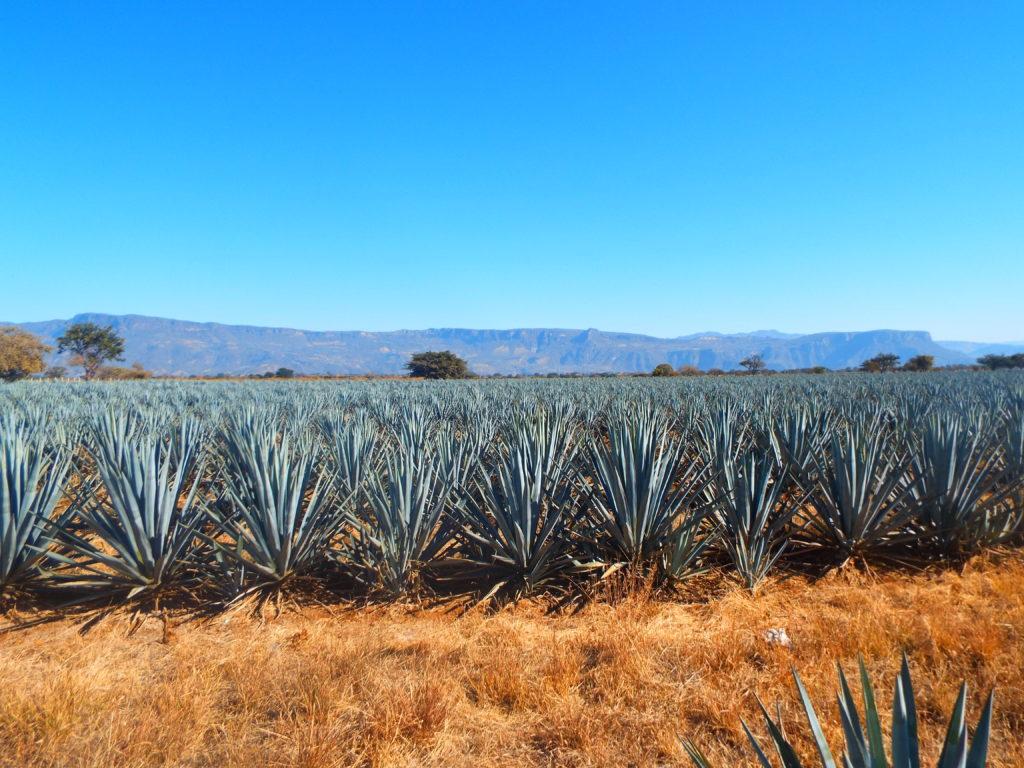 tequila_jalisco_lydia_carey